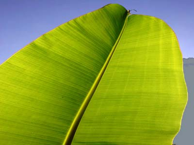 Banana leaf against blue sky